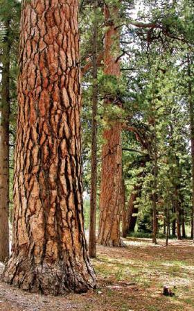 Five Things To Know About The Ponderosa Pine Ear To The