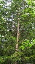 Tree with porcupine damage
