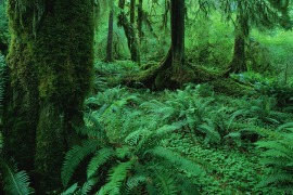 Old Growth Rainforest