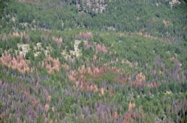 pine beetle killed
