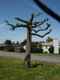 severely topped tree