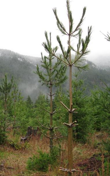 Pine bough theft