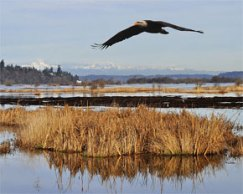 Bald eagle over Nisqually Reach