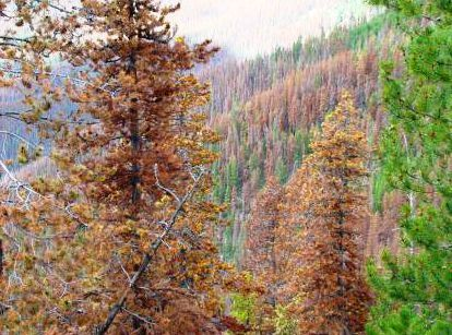 beetle killed lodgepole pine