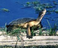 Western pond turtle