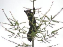 Black bear cubs playing in tree