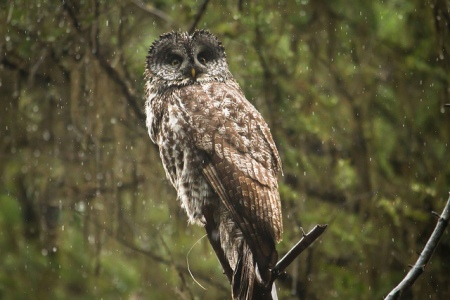 Great Gray Owl-