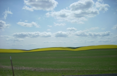 Eastern Washington wheat and mustard fields
