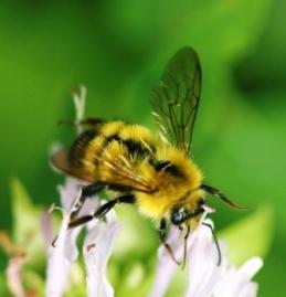 wandering bumblebee