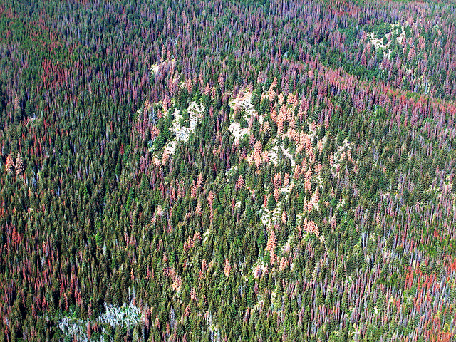 Conifer trees in the central Cascade Mountains show signs of damage by mountain pine beetles. Photo: DNR