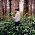 Brush harvester selects and harvests highest quality salal from state trust lands.