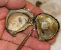 Photo of hand holding a shucked oyster.