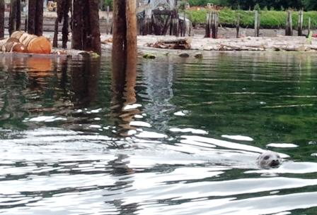 A seal swims past some of the toxic creosote-treated pilings that a DNR-managed project will soon remove from Olympia's Budd Inlet. Photo: DNR.