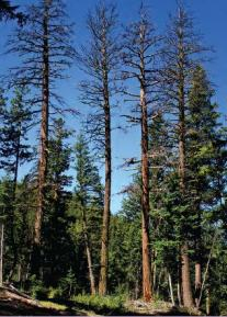 Douglas fir killed as a result of beetle attack. Beetle populations increase following fire, blowdown, or harvest as a supply of inner bark becomes more available. Under such circumstances, beetle populations can increase to the point where otherwise healthy trees can be killed. Photo: Robert Van Pelt/DNR.