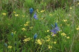 Photo of wildflowers at Lacamas Prairie. Photo: Carlo Abbruzzese, DNR.