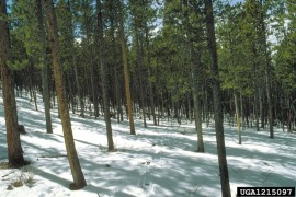 A stand of lodgepole pine. Photo: Dave Powell/US Forest Service/Bugwood.org