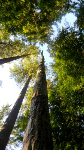 Capitol State Forest snag