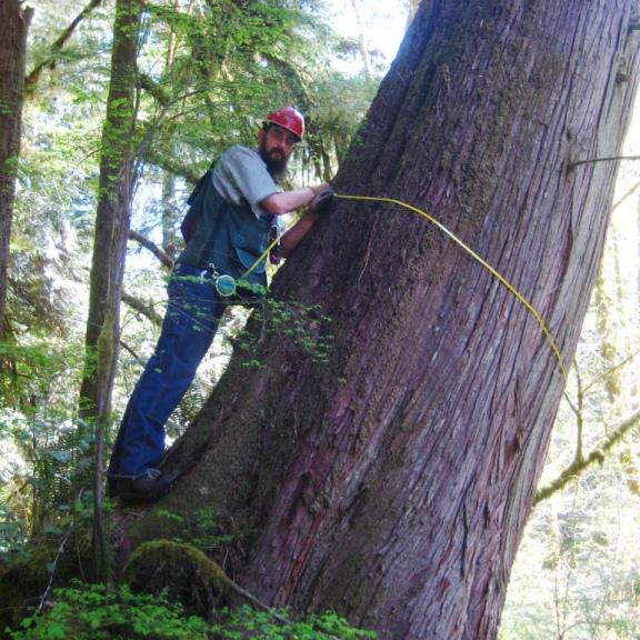 old western red cedar