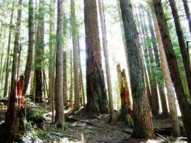 Douglas fir burn scars