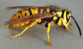 Yellow Jackets are plentiful this year