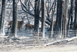 Deer after the Table Mountain Fire in 2012. Photo: James McCarthy/DNR.