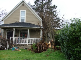 With strong winds and soggy soil, this tree didn't have a chance. December 2007