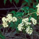 bugwood elderberry 1