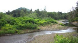 Photo of invasive Japanese knotweed on the banks of the Nisqually River.