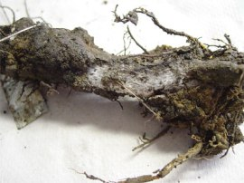Photo of a Douglas Fir root with laminated root rot fungus.