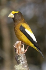 Evening Grosbeak -- Photo by GBBC participant Carrie