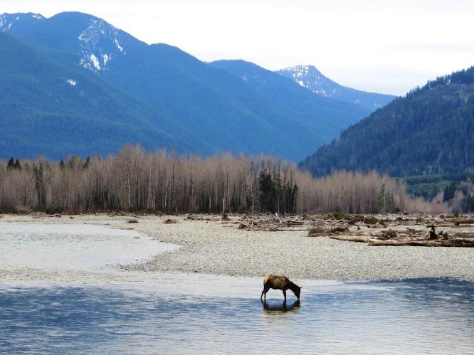 elk in the Cowlitz River