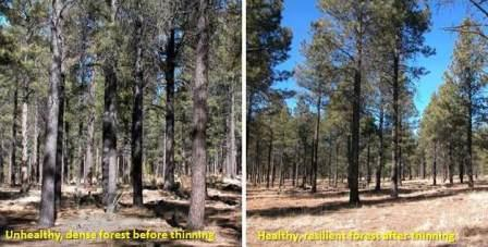 Forest before and after thinning.