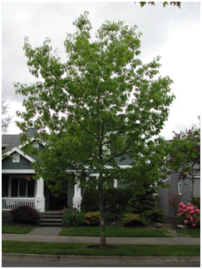 This red oak tree helps cool and freshen the air, mitigate stormwater runoff, reduce stress and anxiety, increase property values, and so much more.