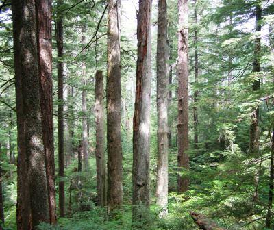 Trees in this patch of old-growth forest in southwest Washington State survived the Yacolt Burn of 1902.