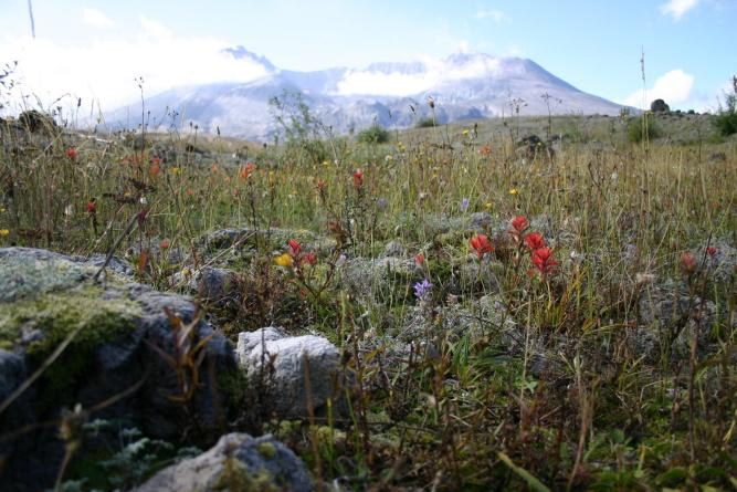 the Mount St. Helens crater is covered in wildflowers.