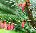 Male pollen cones