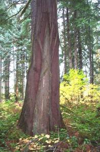Cedar tree used for bark harvest