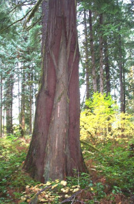 Cedar tree used for bark harvest