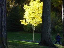 This beautiful tree may not have a chance to grow healthy because it's close by and under an evergreen tree.