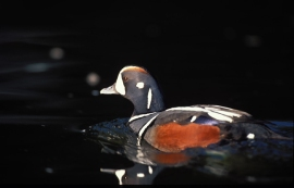 Because it feeds and mates in near shore aquatic habitat, the Harlequin Duck is one of 29 species protected by the DNR's Aquatic Lands Habitat Conservation Plan. Photo by L. Barnes