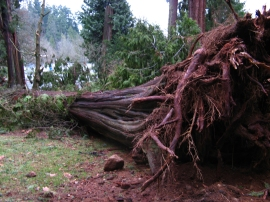 Saturated soils and strong winds toppled this big tree.
