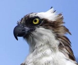 This osprey is known as a seahawk.