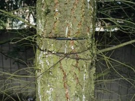 Don't forget to check often any structural support cables or stakes used on your trees.  PHOTO DNR