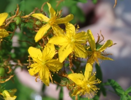 Noxious weeds can come in the form of a beautiful flower, such as the common St. Johnswort (Hypericum perforatum).