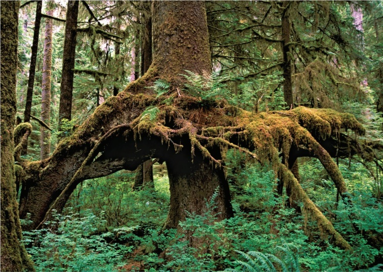 Sitka sprice root system