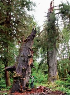 Sitka spruce with broken trunk