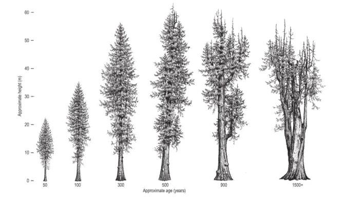Western Redceder Drawing