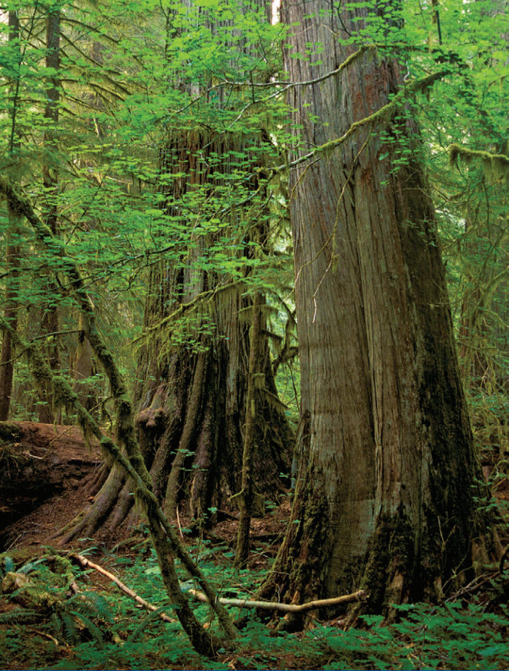 Red Cedar Forest ~ The western red cedar a year old giant ear to