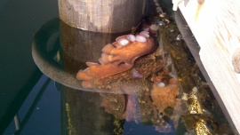 An octopus clings to a pier at a dock on state-owned aquatic lands. DNR Photo