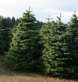 Real Christmas trees are a renewable resource. Photo DNR